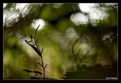 Mantis religiosa 19 (jo.pensel) Tags: macrophotographie macro mantis mantisreligiosa mantes mantereligieuse insecte imagenature insectes insect invertbr contrejour capsizun bretagne finistre france faunedebretagne biodiversit nature naturebretagne enthomologie environnement jopensel jocelynpensel pensel