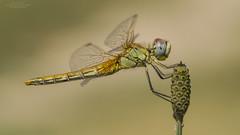 Sympetrum fonscolombii (Pipa Terrer) Tags: sympetrumfonscolombii odonata calasparra liblula dragonfly anisoptera redveineddarter