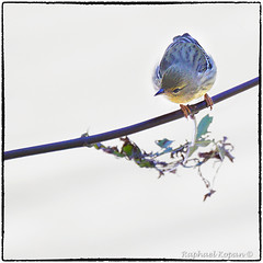 Blackpoll Warbler (RKop) Tags: armlederpark cincinnati ohio raphaelkopanphotography a77mk2 70400gssmsony handheld sony warblers warbler