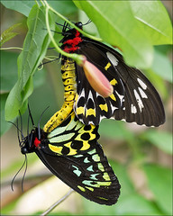 Mating Birdwing Butterflies (Foto Martien (thanks for over 2.000.000 views)) Tags: holland colour macro netherlands beautiful dutch butterfly insect indonesia big wings southeastasia colorfull great large nederland grand papillon tropical mariposa coloured veluwe schmetterling vlinder newguinea kleurrijk macrophoto butterflyhouse solomonislands kleuren groot polychrome butterflygarden bont tropisch harskamp veelkleurig macrofoto moluccas vlindertuin kleurig cairnsbirdwing macroopname northeastaustralia vlinderkas ornithopterapriamus bismarckarchipelago a550 friendoffriends passiflorahoeve vogelvlinder martienuiterweerd commongreenbirdwing martienarnhem northernbirdwing vogelvleugelvlinder sonyalpha550 mygearandme mygearandmepremium minoltamacro100mm28mm mygearandmebronze mygearandmesilver mygearandmegold mygearandmeplatinum fotomartien priamsbirdwing capeyorkbirdwing australianbirdwing kupusayappriamus