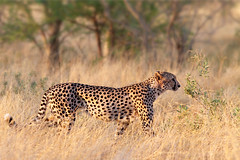 Ready to hunt (Wild Dogger) Tags: africa travel nature animals canon tiere wildlife urlaub natur adventure safari afrika cheetah botswana predator mammals carnivore 2010 endangeredspecies gepard acinonyxjubatus felidae sugetier abenteuer redlist raubtiere linyanti kwando roteliste lebala canoneos7d thomasretterath gefhrdetetierart canonef300lis28usm bestevercompetitiongroup