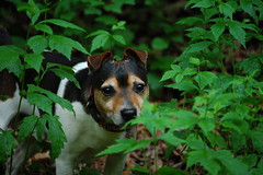 I am Morris (Mulewings~) Tags: dog pet friend jrt walk awesome buddy hike morris cooldog june2011 theessenceofmorris