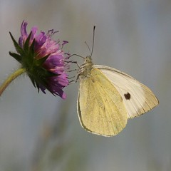 Large White (Pieris brassicae) (bayucca) Tags: butterfly schweiz switzerland suisse lepidoptera papillon borboleta svizzera mariposa farfalla schmetterling emmental pieris cabbagewhite largewhite fieldscabious pieridae pierisbrassicae kohlweissling knautiaarvensis grünenmatt weissling grosserkohlweissling taxonomy:binomial=pierisbrassicae wiesenwittwenblume feldskabiose wwwnkisinfoflickr0066z9455 wwwnkisinfoflickr0066z9456