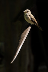 Spotted Flycatcher (Musciapa striata) (m. geven) Tags: brown bird nature animal fauna adult feathers natuur orchard veer spotlight faux migratory lowkey dier boomgaard tool oiseau avian vogel oiseaux bruin avifauna sense scythe gelderland nld spottedflycatcher uitkijkpost veren pluim zeis passerine declining outil zangvogel gereedschap redlist forestbird muscicapidae gardenbird oldworldflycatcher spotlicht grauschnpper summerbird grauwevliegenvanger breedingbird rodelijst tuinvogel gobemouchegris avianexcellence vliegenvanger broedvogel rodelijstsoort volwassenvogel zomervogel musciapastriata redlistspecies parkvogel gemeentebrummen bosvogel rodelijstnederland redlistnetherlands nederlandthenetherlandspaysbas afnemend overwinterdinafrica