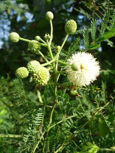 Hoa Keo Giậu, Bình Linh.. Leucaena leucocephala  họ đậu  Fabaceae