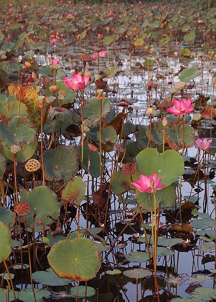 _Bali_lotus_1_
