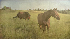Horses in the Meadow (Raf...) Tags: horses horse texture field finland meadow simplybeautiful tatot arttex