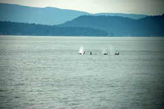 Spouting Orcas