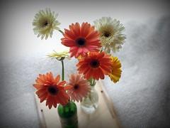 Gerbera (m8969) Tags: flower home pen gerbera olympusep1 panasoniclumix20mmf17 panasoniclumix20mmf17asph