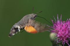 Hummingbird Hawk-moth (Macroglossum stellatarum) (steb1) Tags: macro insect moth lepidoptera hawkmoth hummingbirdhawkmoth macroglossumstellatarum