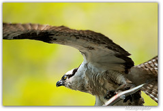 Maine Osprey (Nikographer [Jon]) Tags: fish bird me birds spring maine may handheld prey nocrop 500mm osprey bif 2011 20110529d300s96145