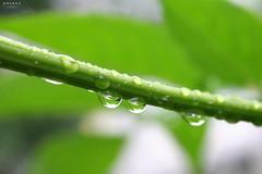 Raining (B. Razzouk) Tags: light plants white color macro berlin green nature water leaves rain germany landscape drops spring drop canoneos20d raining leav 2011 dropofrain dropsofrain brazzouk