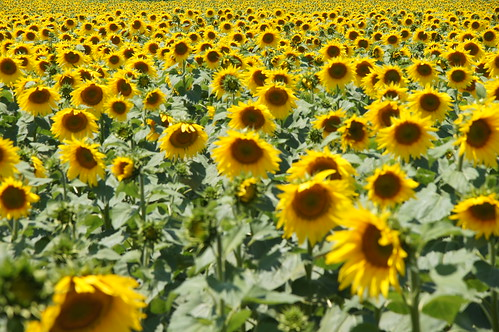 A field of sunflowers by CharlesFred