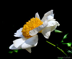 Floating Out of the Shadows (Annette LeDuff) Tags: flora flower 06202012 annetteleduff photoannetteleduff nature peony bloom yellow white profile blinkagainlevel1 blackintheback mamasbloomers comelovediamo foof dreamsilldream heartsofoak galeriesundance lartedellanatura primusinterpares oceansoftalent thebutterflytree naturesphotos floralfantasy ohno notanotherflower this1 lamiasonata butterflydreams frogpondflorals doublefantasy topsofthis1 mimamorflowers excellentsflowers flowers magicmomentsinyourlifelevel1 floraandfaunaoftheworld flickrflorescloseupymacros panoramafotográfico panoramafotografico faunaandfloraoftheworld contacgroup exquisiteflowers thebestofmimamorsgroups onlythebestofflickr flickrfriends greatshotss macroelsalvador magicmomentsinyourlifelevel2 comerrezaramareatpraylove magicmomentsinyourlifelevel3 quintaflower♦106ºconc♦amelhorfotodaquinzena