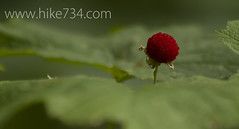 "Thimbleberry • <a style=""font-size:0.8em;"" href=""http://www.flickr.com/photos/63501323@N07/7429328616/"" target=""_blank"">View on Flickr</a>"