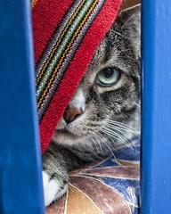 Tango the cat / Tango le chat (Steve Troletti Nature & Wildlife Photographer) Tags: cat nikon chat tango nikkor 18mm jocelyne