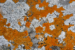 Undetermined Lichens (Eric Hunt.) Tags: orange white yellow lichen arkansas petitjeanstatepark crustose undetermined