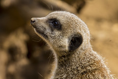Meerkat baby (ClarityVirtual) Tags: baby cute animal zoo meerkat wildlife fluffy
