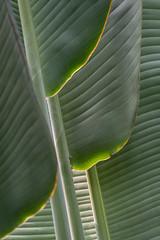 Palm Leaves (HubbleColor {Zolt}) Tags: plant nature leaves unitedstates pennsylvania longwoodgardens kennettsquare