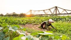 The Middle Land (Jesse4870) Tags: old bridge sunset plants field asia long farm steel south banana east vietnam land farmer middle hanoi bien