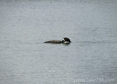 "Common Loon • <a style=""font-size:0.8em;"" href=""http://www.flickr.com/photos/63501323@N07/14243154802/"" target=""_blank"">View on Flickr</a>"