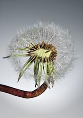 Dandelion Stacked (Anthony de Schoolmeester) Tags: macro nature studio weeds flash dandelion seeds elinchrom focusstacked