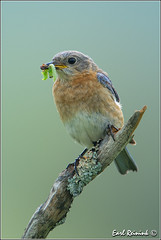 greenies (Earl Reinink) Tags: ontario canada nature nikon flickr earl bluebird easternbluebird naturephotography earlreinink reinink iodatardha