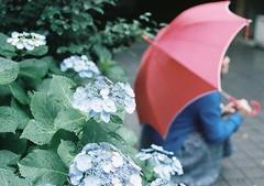 紫陽花と君と (kAz_55) Tags: portrait flower film girl rain umbrella 35mm nikon fuji fujifilm hydrangea f3 135 nikonf3 傘 5018 紫陽花 雨 pro400h フィルム エビプリ
