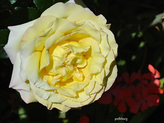 A  yellow rose in my garden (pat.bluey) Tags: flowers rose yellow australia newsouthwales blacktown 1001nights mygarden flickraward 1001nightsmagiccity hennysgardens
