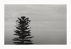 Araucaria (breatheoutnow) Tags: bw byn film 35mm canon lens zoom extreme minimal iso 400 a1 mm asa araucaria hc fd 100200 ilfotec ultrafine