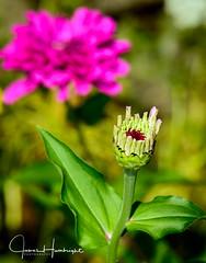 Awaking Beauty (jhambright52) Tags: macroflowers macro