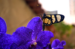 Borboleta na orqudea Vanda - Butterfly on Vanda orchid (Valter Frana) Tags: borboleta inseto polinisador ovparo fase orqudea vandacoerulea vanda vegetal azul orchid butterfly