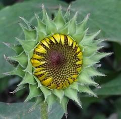 New life (6) (gomosh2) Tags: flowerbud sunflower