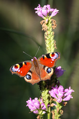 European Peacock Butterfly (Jens Goos) Tags: nature peacock butterfly aglais io animals insects flower outdoor sun colours canon 400mm closeup shadow bokeh