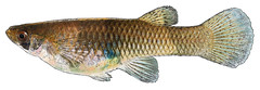Western Mosquitofish (NYS Department of Environmental Conservation) Tags: nysdec nysdepartmentofenvironmentalconservation inland fish freshwater