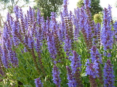 """Lavender • <a style=""""font-size:0.8em;"""" href=""""http://www.flickr.com/photos/61957374@N08/5849784867/"""" target=""""_blank"""">View on Flickr</a>"""
