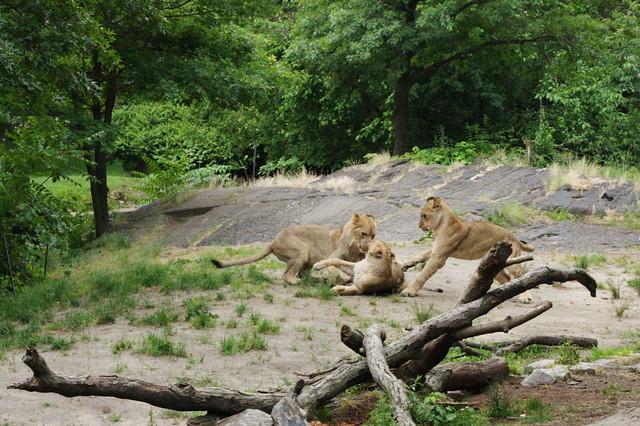 Lions.CR2