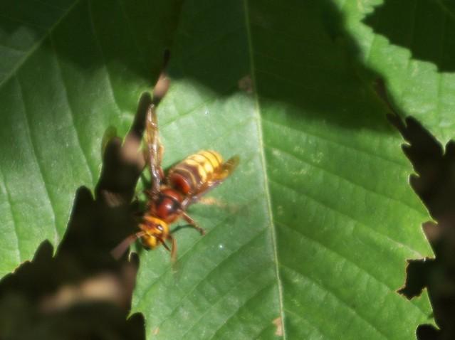 DSC_8141 hornet