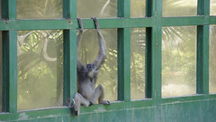 Grey gibbon (ddsnet) Tags: animals zoo sony hsinchu taiwan    zoo  new nex   new hsinchuzoo mirrorless emount nex5 hsinchu newemountexperience experience