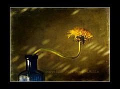 Seeking the Light (RonnieLMills 5 Million Views. Thank You All :)) Tags: blue light shadow stilllife bottle victorian dandelion poison textured cobalt taraxacum officinale memoriesbook rubyawardsinvitation