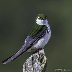 Violet-green Swallow (Bob Gunderson) Tags: california birds northerncalifornia southbay swallows birdwatcher santaclaracounty ranchosanantonio violetgreenswallow tachycinetathalassina