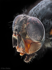 The Fly (Steve Mackay) Tags: macro insect fly insects flies focusstack stevemackay