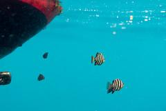 DSC_9912.jpg (d3_plus) Tags: sea sky beach japan scenery diving snorkeling  yg shizuoka    izu buoy parrotfish      minamiizu     nikon1  hirizo  knifejaw  nakagi nikon1j1 1nikkor185mmf18  beachhirizo knifejawyg parrotfishyg yg misakafishingport