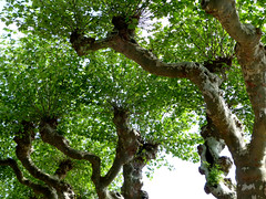 Tree alley (Andrea Kirkby) Tags: tree pollard ivry bataille france