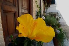 Bellezza in giallo!!! ... Beauty in yellow (Marco_964) Tags: giallo bellezza fiore yellow flower pentax beauty pov closeup