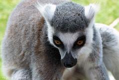 P1060244 (LaBonVampire) Tags: lemur animals nature leica leicalenses lumix
