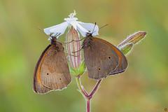 Al riparo... (daniele.rossi) Tags: macro canon butterfly farfalla sigma180 7d rossidaniele maniolajurtina lepidoptera lepidottero natura nature nymphalidae tuscany toscana insect insetto italy italia closeup