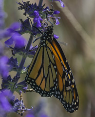Monarch_SAF1662 (sara97) Tags: danausplexippus butterfly copyright2016saraannefinke flyinginsect insect missouri monarch monarchbutterfly nature outdoors photobysaraannefinke pollinator saintlouis towergrovepark