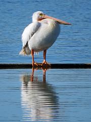 IMG_4024 (lbj.birds) Tags: kansas nature flinthills wildlife bird pelican americanwhitepelican