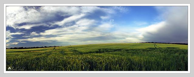 Búzamező / Grain field - panorama